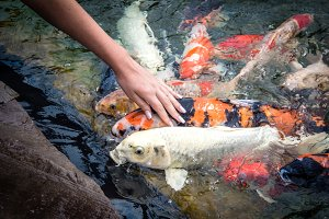 carp fish, koi fish isolated, natural, nobody, pretty, rocks