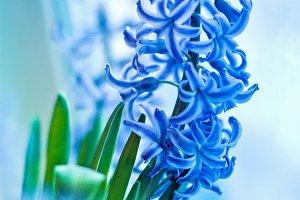 hyacinth spring flowers
