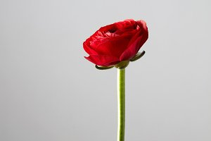red ranunculus flower on a gray background