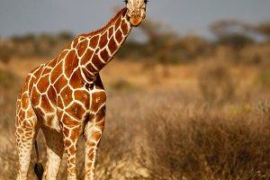 Reticulated giraffe in African savan