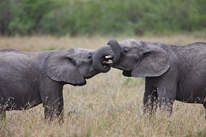 Two African elephants binding trunks