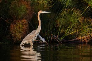 Giant goliath heron