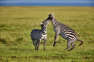 Two zebras playing