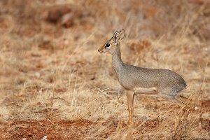 Kirk's dik-dik antelope in savanna