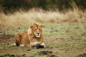 Young lion resting in savanna