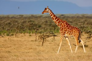 African giraffe in savanna
