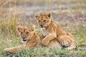 Two playful lion cubs