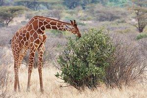 Giraffe in African savanna
