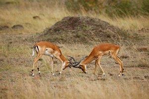 Two impala males battling