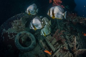 batfish in the thistlegorm