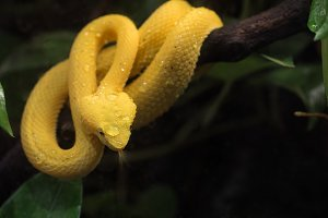 Yellow venomous snake on the tree