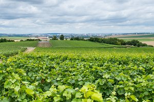 Horizontal panoramic view of vineyards in France