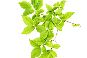 Green leaves white background