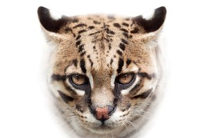 Ocelot head isolated on white