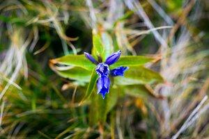 Gentiana asclepiadea. A blue mountai