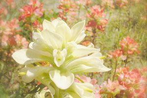 White Indian Paintbrush Wildflower
