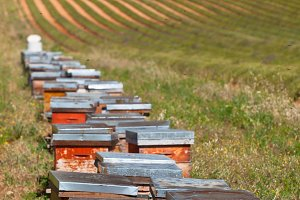 Beehives on the lavender field
