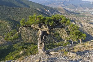 Relict pine with a twisted trunk
