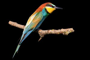 bee-eater is isolated on a black background
