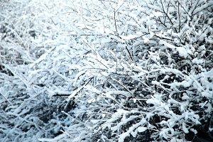 Fresh Snow on Bush Branches