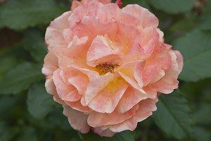 Rose flower, close up