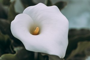 Close up of Zantedeschia aethiopica, arum lily white flower