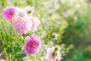 Pink dahlia flowers in summer garden