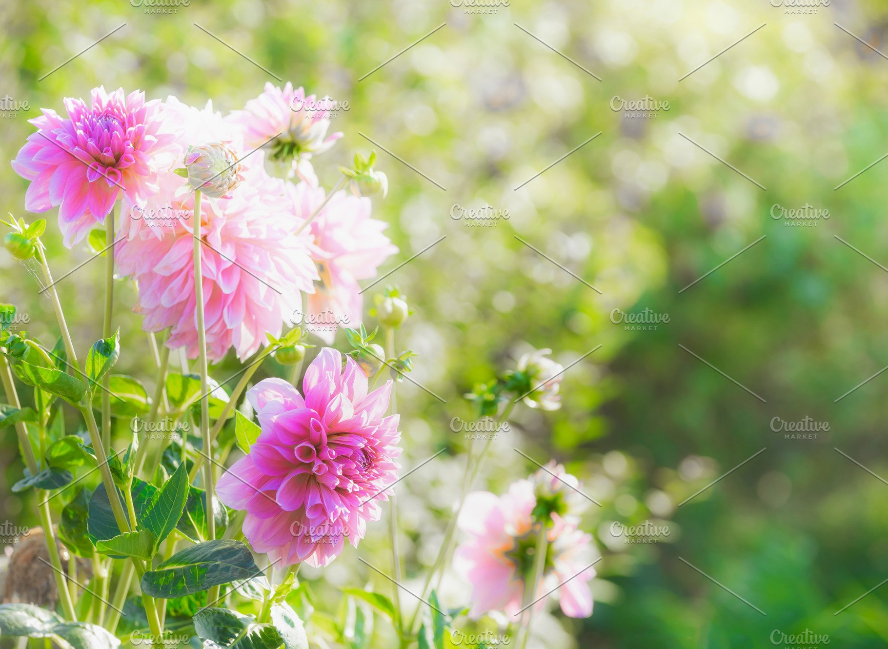 Pink Dahlia Flowers In Summer Garden High Quality Nature Stock