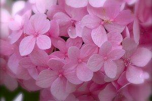 Pink Hydrangea Botanical Photography