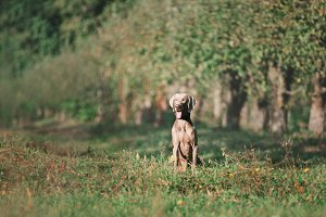 Weimaraner Sitting in in the Park