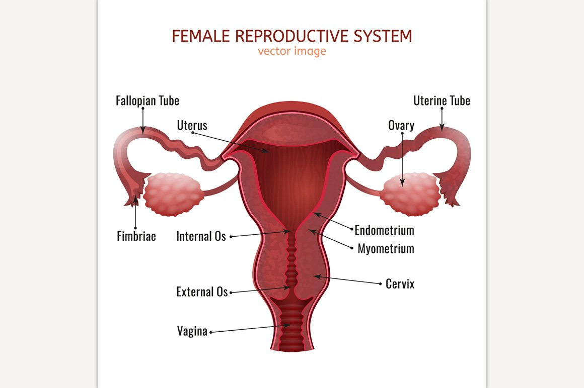 Female Reproductive System ~ Illustrations ~ Creative Market
