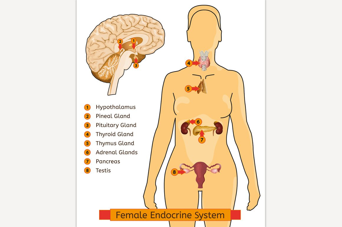 Woman Endocrine System Illustrations Creative Market