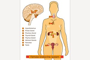 Woman Endocrine System