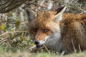 Red fox (Vulpes vulpes) hidden