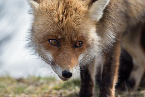 Red fox (Vulpes vulpes) close-up por