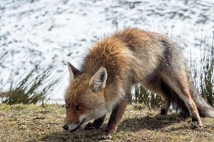 Red fox ready to hunt