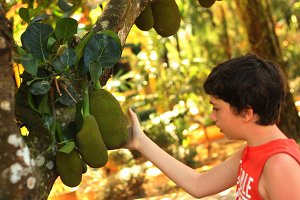 boy with whole jackfruit on the tree close up outdoor photo