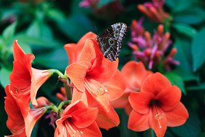 Amazing red lily with cute butterfly