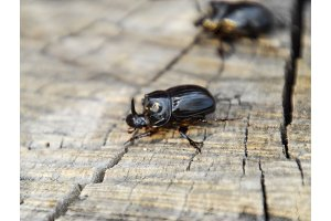 A rhinoceros beetle on a cut of a tree stump. A pair of rhinoceros beetles