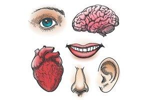 Human organs sketch