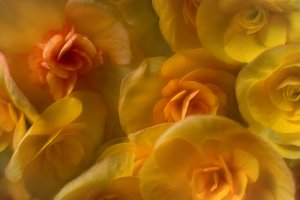 Close-up Photo of Yellow Begonias