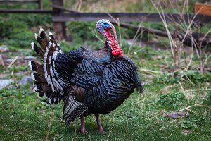 Black turkey