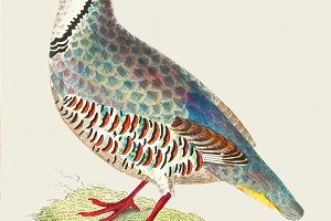 Illustration of partridge (PSD)