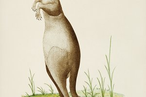 Illustration of kangaroo (PSD)
