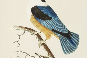 Illustration of kingfisher (PSD)