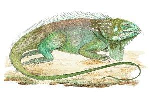 Illustration of iguana (PSD)