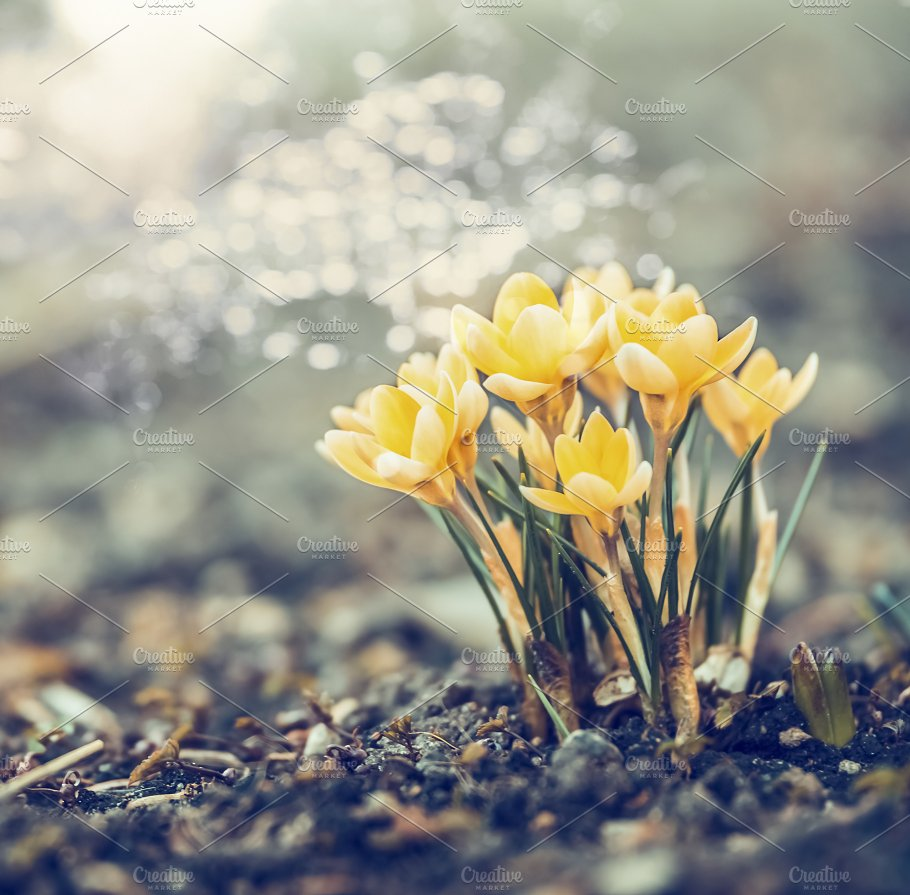 Yellow Crocuses Flowers In Garden Nature Photos Creative Market