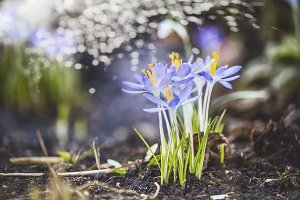 Spring nature with first crocuses