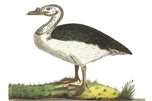 Illustration of goose
