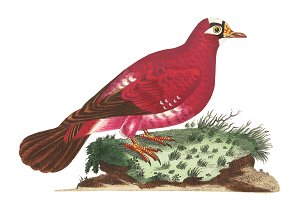 Illustration of pigeon